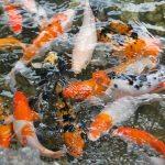 koi-fish-1081787_1920