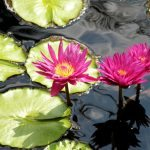 water-lilies-1327916_1280