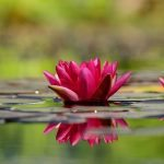water-lily-1442497_640